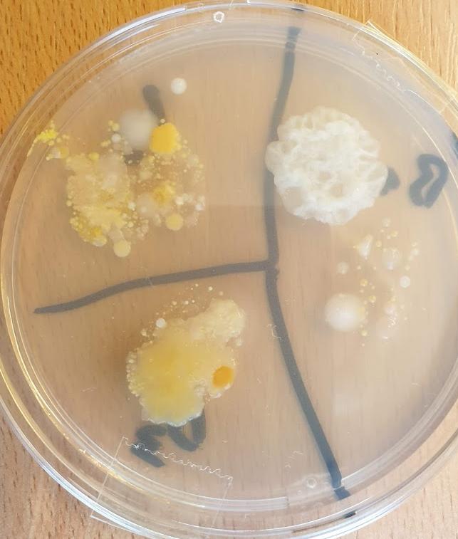 Priauginome mikroorganizmų
